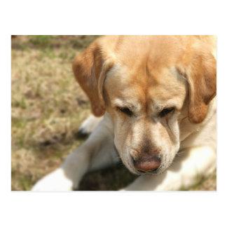 Closeup Portrait of a Yellow Labrador Retrievers Postcard