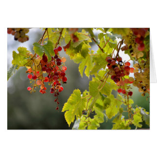Closeup red grapes among leaves card