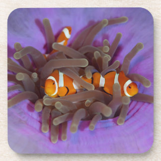 Clown Anemonefish Set of 6 Coasters