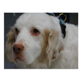 Clumber Spaniel Dog  Postcard