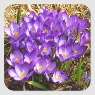 Cluster of Purple Crocuses Early Spring Flowers Square Sticker