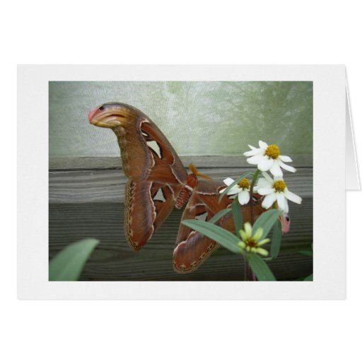 Cobra Moth with White Daisies Card