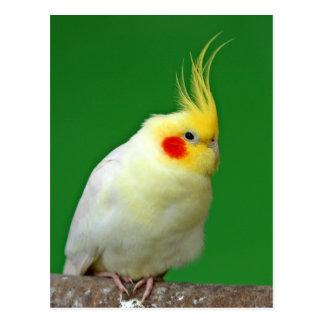 Cockatiel bird beautiful photo postcard