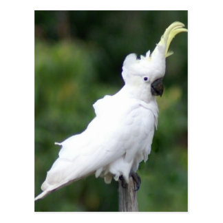 Cockatoo Postcard