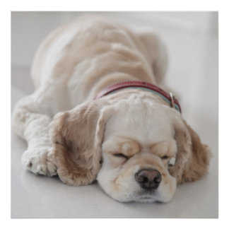 Cocker spaniel dog sleeping poster
