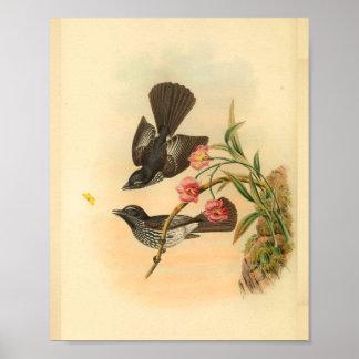 Cockerells Fantail Flycatcher Bird Vintage Print