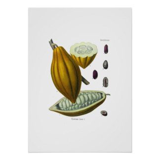 Cocoa bean vintage illustration print