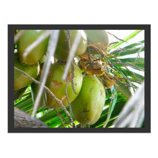 Coconuts on Palmtree Postcard