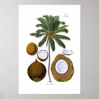 Cocos nucifera (coconut palm) poster