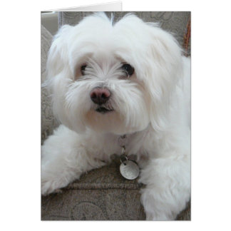 Cody, adorable Maltese on chair #1 Card