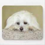 'CODY'  Sweet LittleMaltese photo at top of stairs