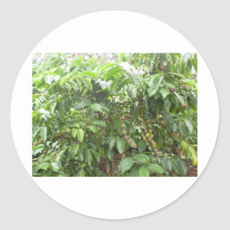 Coffea Canephora Classic Round Sticker