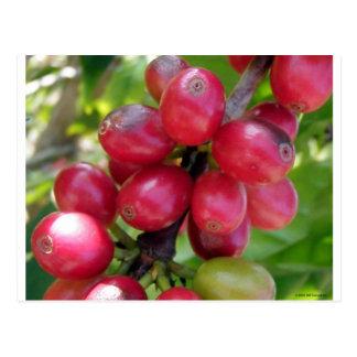 Coffee Cherries Postcard