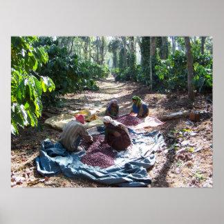 Coffee Workers Sorting Cherries Poster