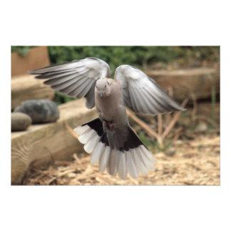 Collared Dove Photo Print