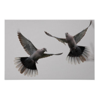 Collared Doves Poster