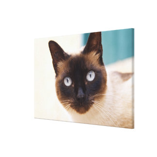Collioure. Roussillon. A street cat. France. Stretched Canvas Prints