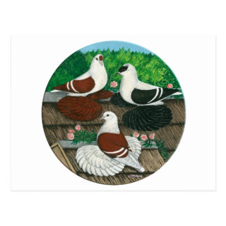 Color Pigeon Trio Postcard