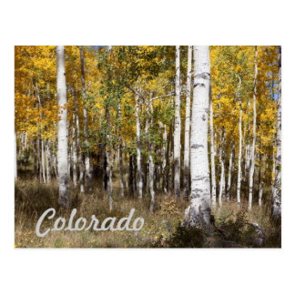 Colorado Aspen Grove in Autumn Postcard