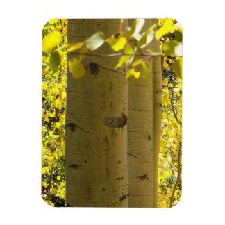 Colorado Aspens Rectangular Photo Magnet