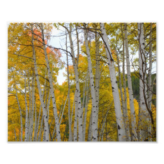Colorado Birch trees in the fall Photo Print