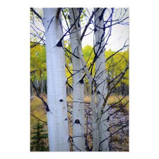 Colorado Birch Trees Photo