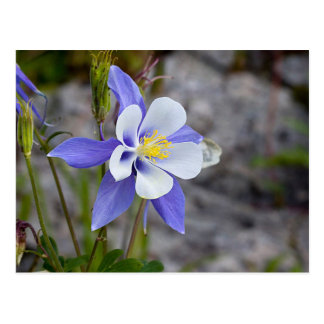 Colorado Columbine Postcard