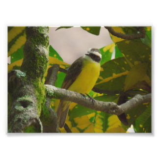 colorful bird coereba flaveola photo print