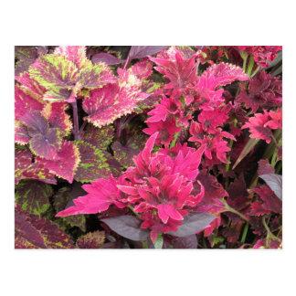 Colorful Coleus Plants Postcard