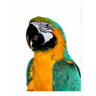 colorful gold teal macaw parrot bird portrait postcard