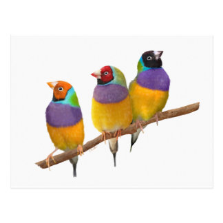 Colorful Gouldian Finches in Pastels Postcard