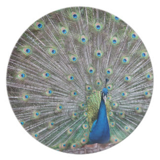 Colorful Peacock Plate