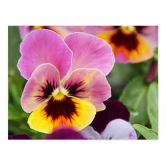 Colorful Pink and Yellow Pansy Flower Postcard