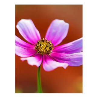 Colorful Pink Painted Cosmos Blossom Postcard