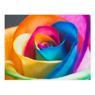 Colorful Rose Postcard