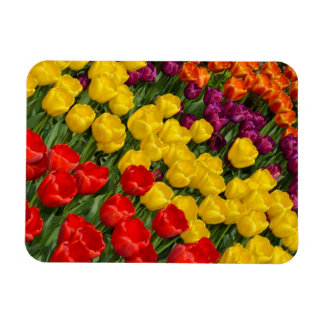 Colorful spring tulips print magnet