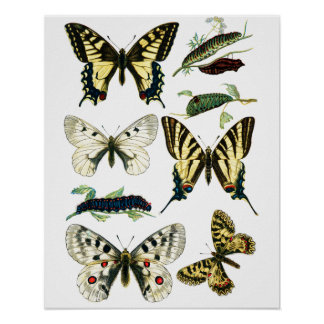 Colorful Swallowtail Butterfly, Caterpillar & Moth Poster