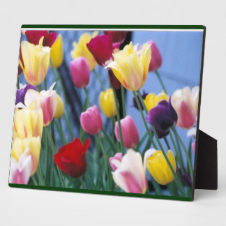 colorful tulips display plaques