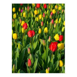 Colorful Tulips II Postcard