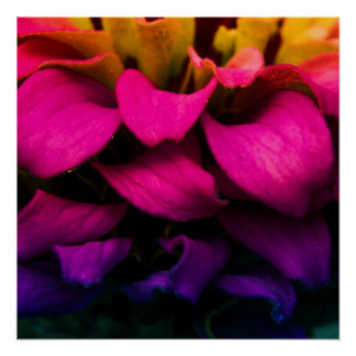 Colorful Zinnia Flower Poster