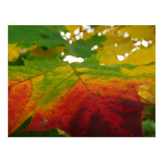 Colors of the Maple Leaf Postcard