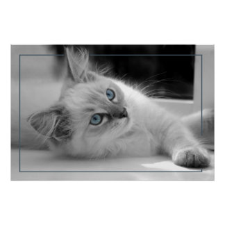Coloured eyes, ragdoll kitten poster