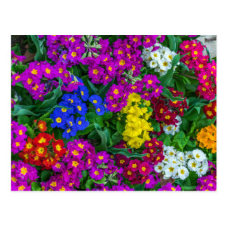 Colourful primroses postcard
