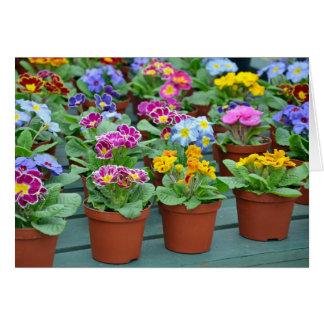Colourful primroses print greeting card