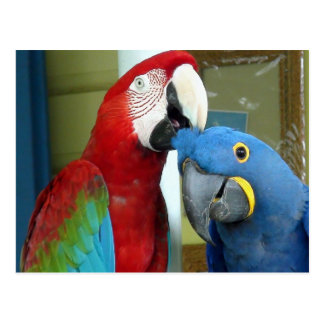 Colourful Red and Blue Macaws Postcard