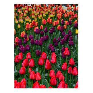 Colourful tulip flower garden postcard