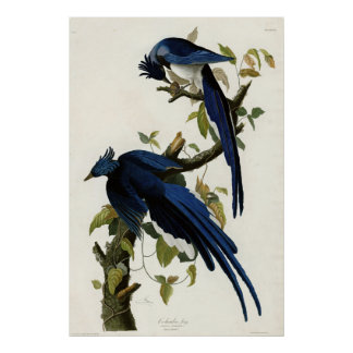Columbia Jay Birds of America by James Audubon Poster
