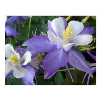 Columbine flowers postcard