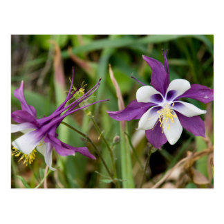 Columbine Flowers Postcards