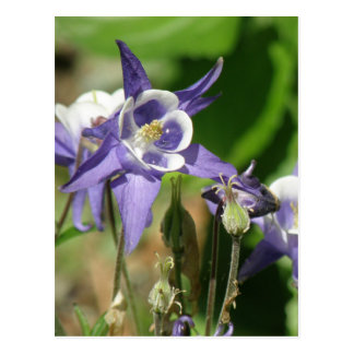 Columbine Plants Postcard